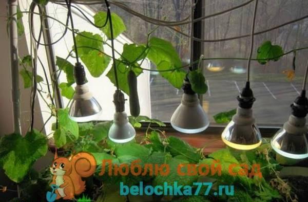 Как вырастить огурцы в квартире на подоконнике и получить достойный урожай