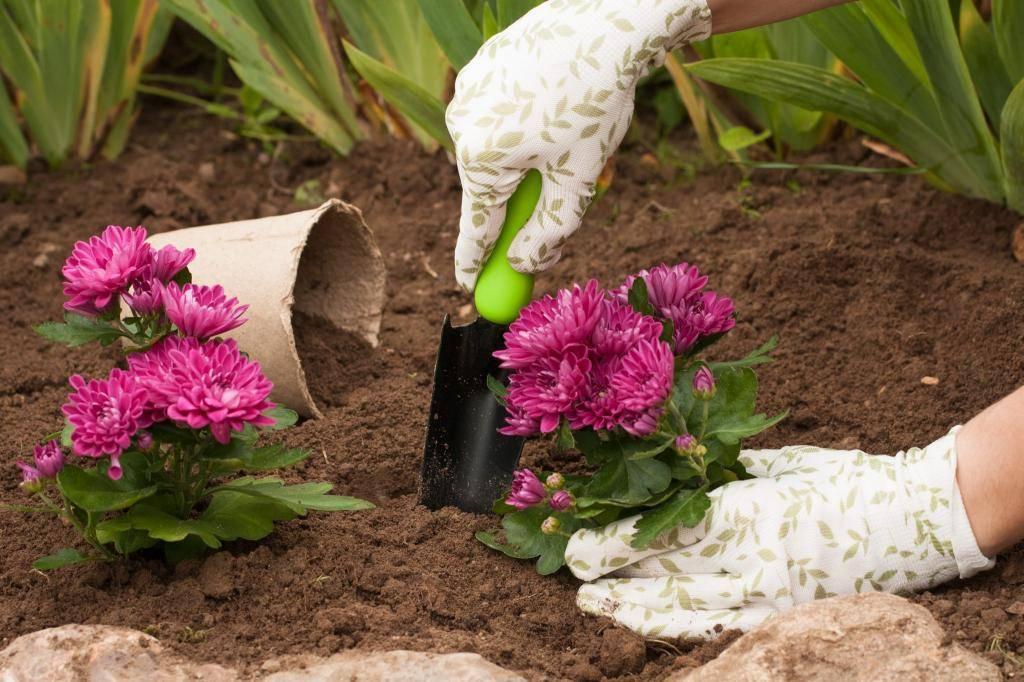 Крупноцветковые хризантемы: разновидности, советы по выращиванию и размножению