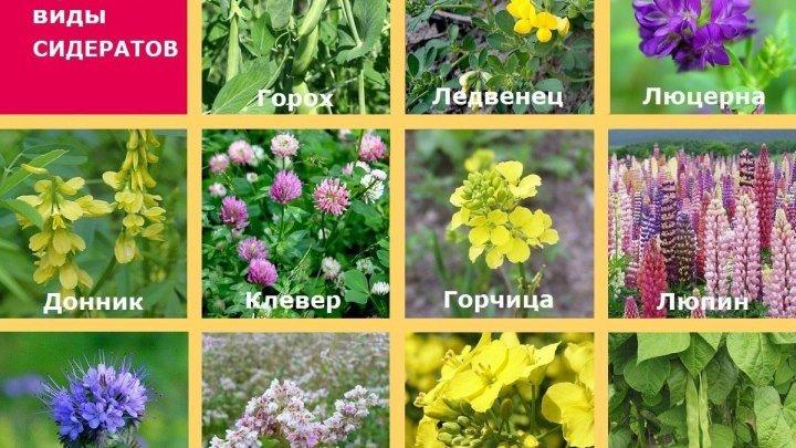 Природное земледелие. Три группы сидератов