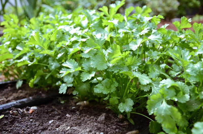 Кориандр, или кинза: описание, выращивание в открытом грунте, теплице и дома, проблемы и решения