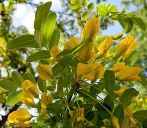 Карагана древовидная (акация желтая): использование коры, корня, листьев ицветков