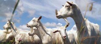 Сколько молока дает коза в сутки, когда начинать доить, повышение удоя