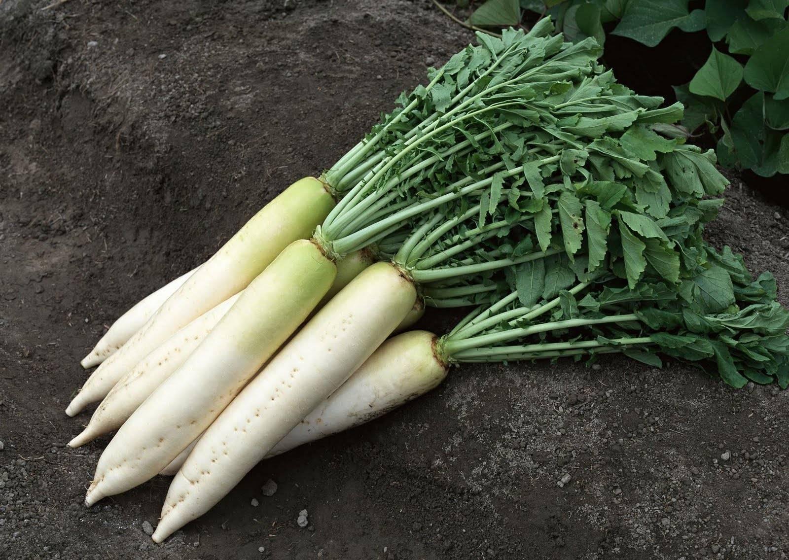Уникальный овощ – редька дайкон! полезные свойства, противопоказания и проверенные рецепты для здоровья человека