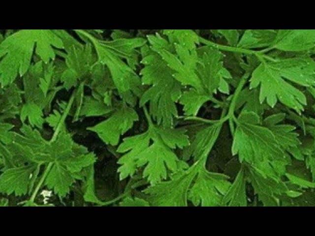 Петрушка – посадка и уход в открытом грунте весной