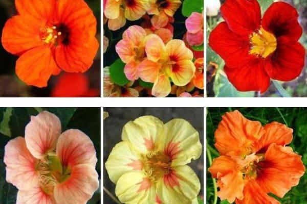 Настурция — фото, выращивание, свойства