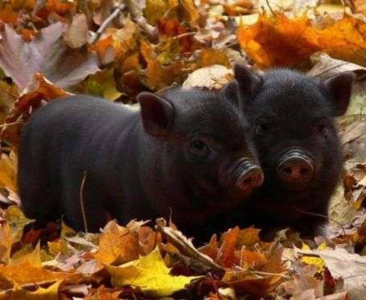 Все о вьетнамских вислобрюхих свиньях