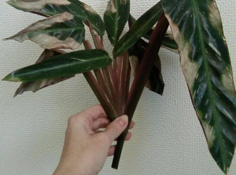 Строманта: красивое, но очень капризное комнатное растение