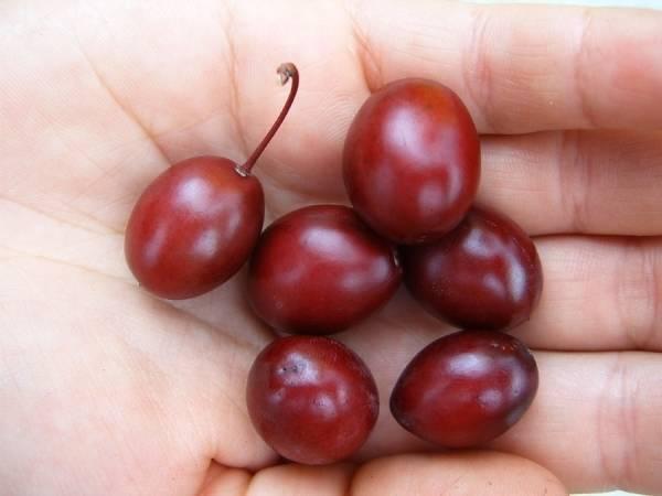 Сорт писсарди: посадка сливы, уход и выращивание