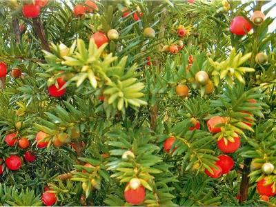 Тис ягодный: фото, сорта, описание и особенности растения