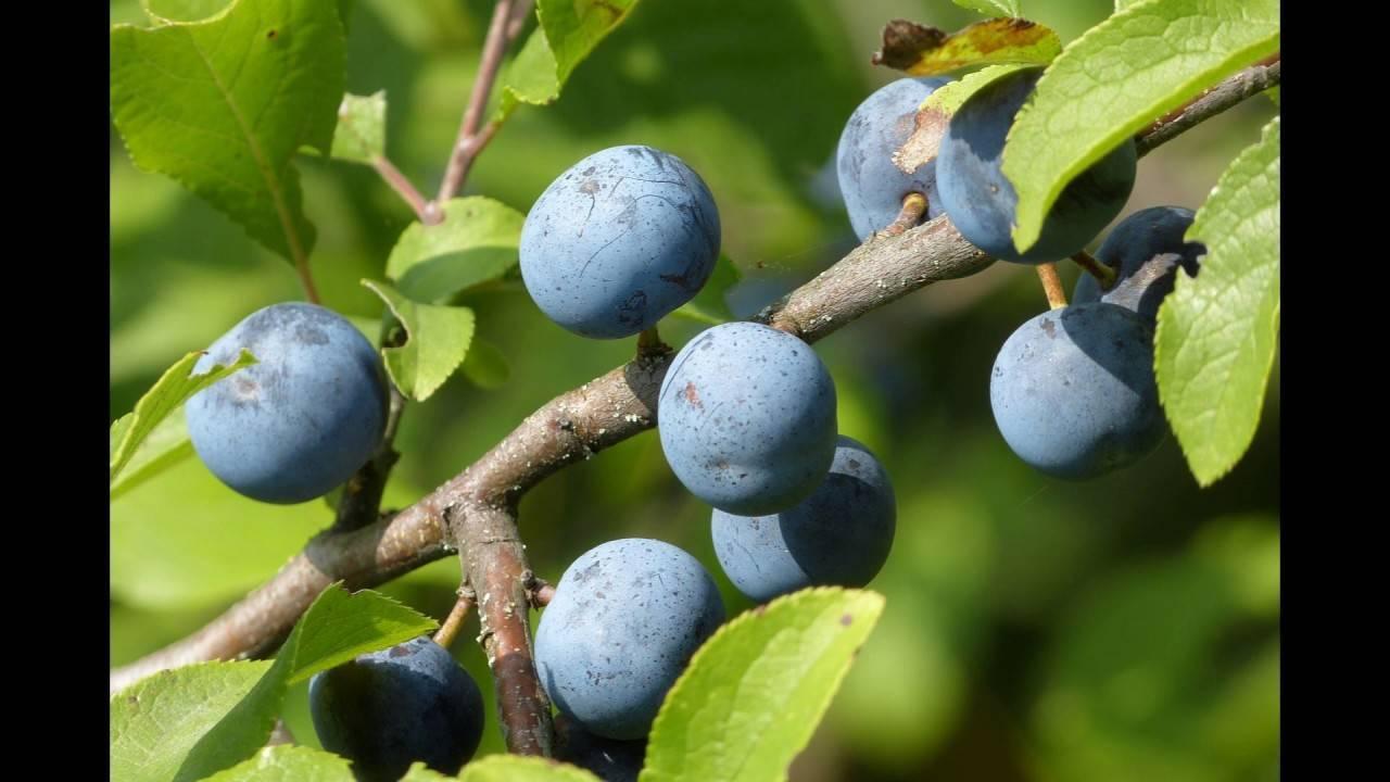 Терн – польза и вред необычного растения,