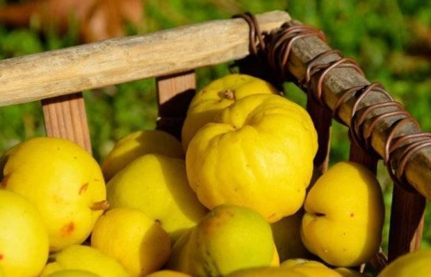 Айва японская выращивание и уход подкормка обрезка размножение