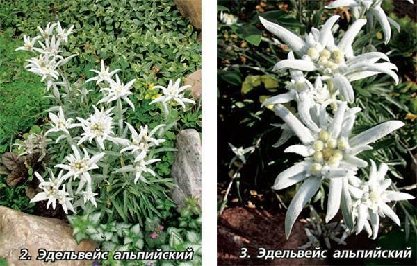 Эдельвейс цветок: выращивание из семян, посадка и уход, фото + видео