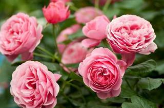 Какой нужен уход за розами летом