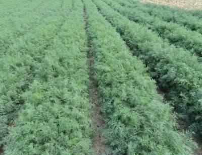 Укроп - посадка и уход в открытом грунте, выращивание из семян