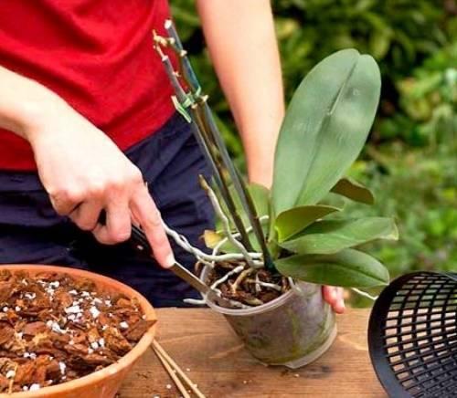 Орхидея блетилла: посадка и уход
