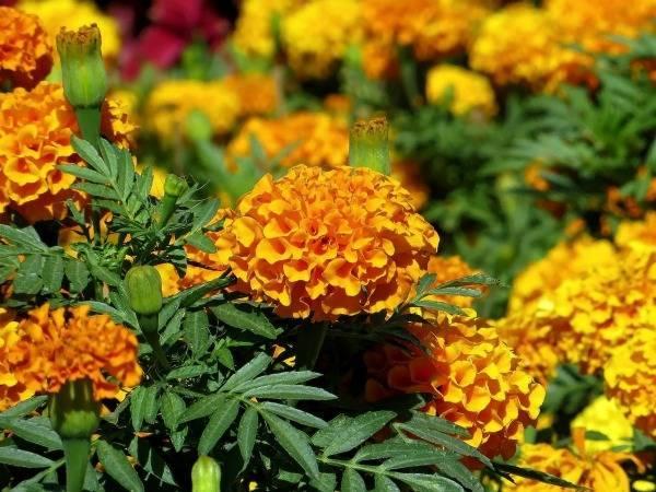 Как сажать цветы канны в открытый грунт: советы по выращиванию и уходу