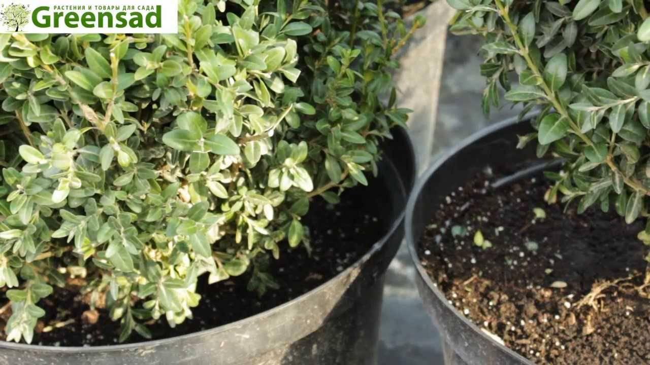 Правила посадки и выращивания самшита вечнозеленого