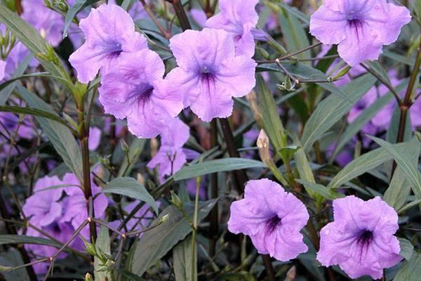 Уход за руэллией в домашних условиях для получения пышного цветения