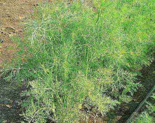 Рекомендации, как часто поливать укроп, чтобы хороший урожай появился в короткий срок