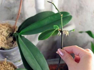 Подробно рассказываем, как укоренить детку орхидеи без корней