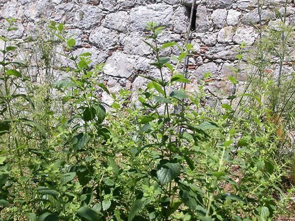 Выращивание мелиссы в саду, советы начинающим