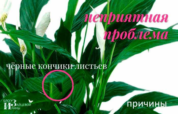 Спатифиллум — чернеют листья по краям, что делать