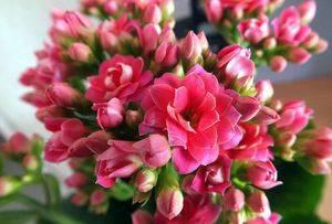 Прекрасная каландива микс — каланхоэ с цветением более полугода