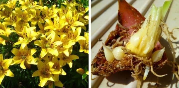 Посадка и выращивание лилий чешуйками