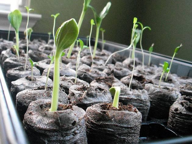 Как вырастить аквилегию из семян