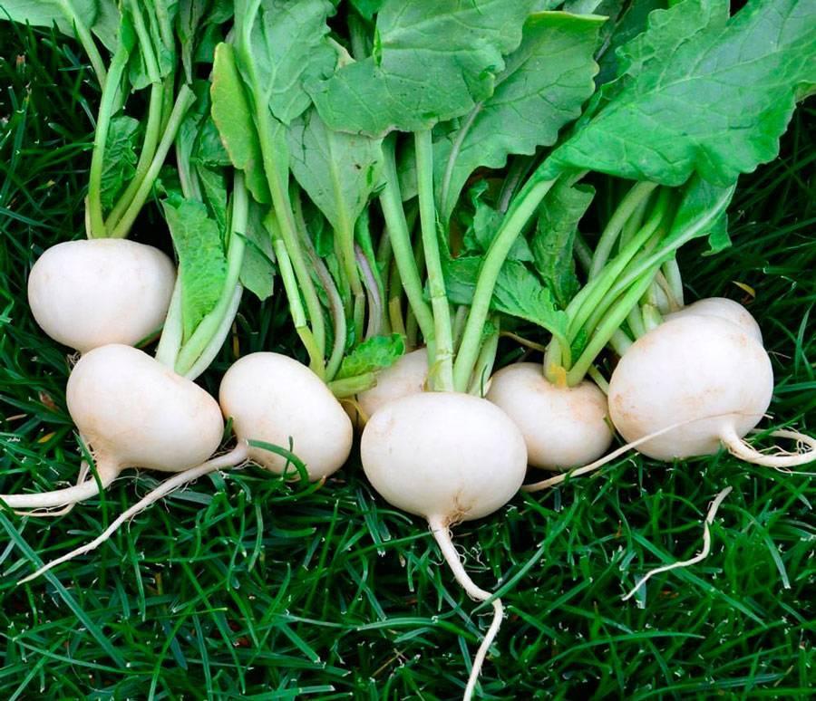 Как сажать дайкон семенами в открытом грунте?