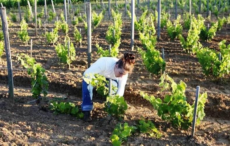 Виноград в сибири: особенности посадки и ухода