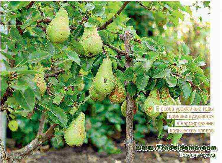 Как правильно посадить грушу весной
