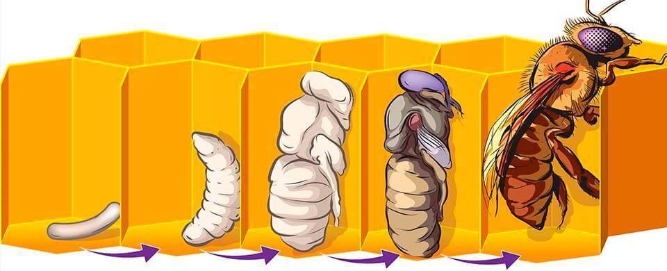 Какую роль выполняют трутни в пчелиной семье
