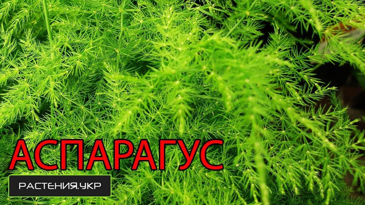 3 способа размножить аспарагус в домашних условиях