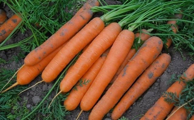 Посадка моркови в 2020 году: календарь, когда сажать
