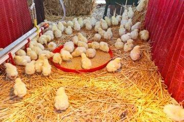 Витамины для цыплят бройлеров, растворимые в воде, состав и показания к применению