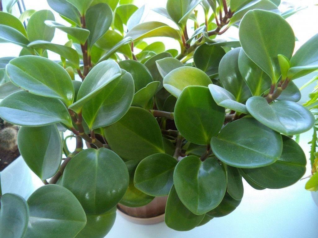 Пеперомия — секреты выращивания в домашних условиях