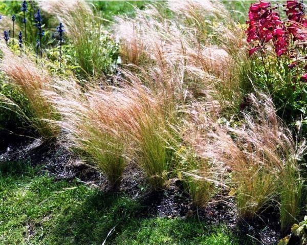 Род многолетних травянистых растений семейства злаки. знакомство со злаковыми культурами