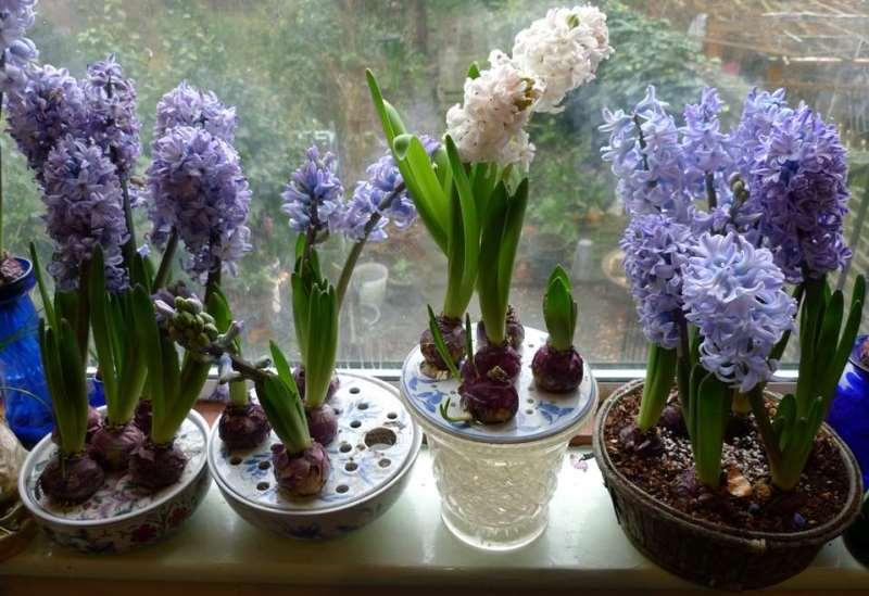 Выгонка гиацинтов к 8 марта: с чего начать выращивание в домашних условиях?