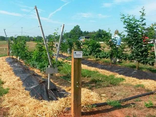 Секреты выращивания ежевики на шпалере. конструкции и отзывы