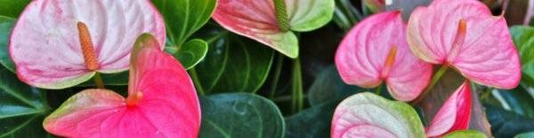 Важная информация о цветении антуриума. описание и фото видов, уход за растением