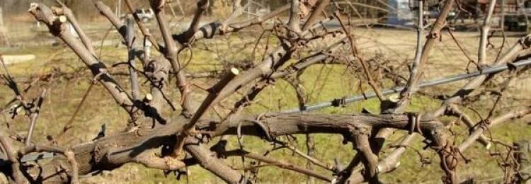 Об обрезке винограда для начинающих