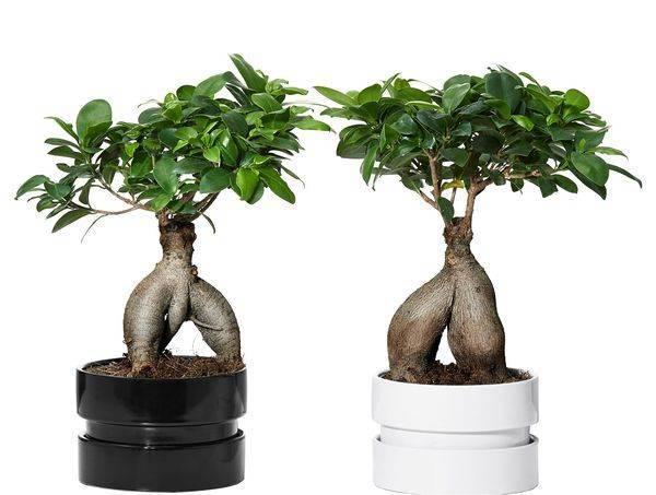 Фикус лировидный: выращивание и уход в домашних условиях