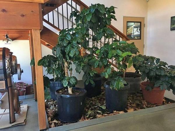 Кофе на подоконнике: как выращивать кофейное дерево в домашних условиях