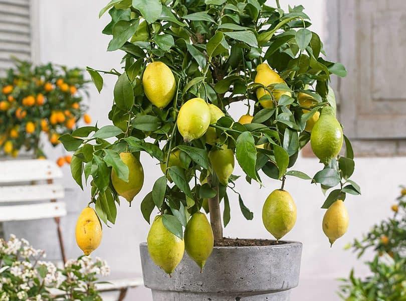 Домашний лимон - условия выращивания в горшке