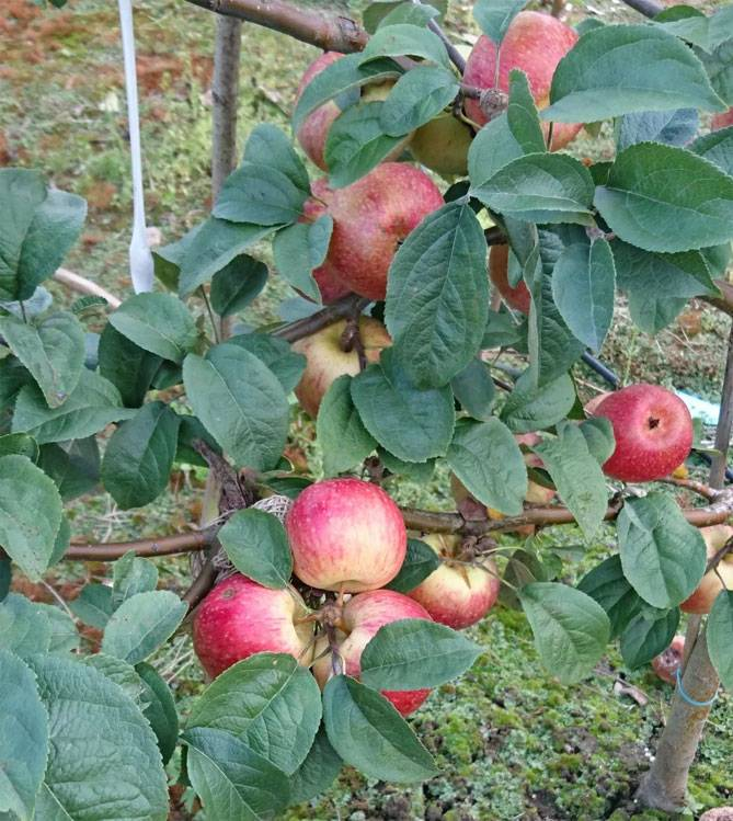 Характеристика и описание яблони «уэлси»