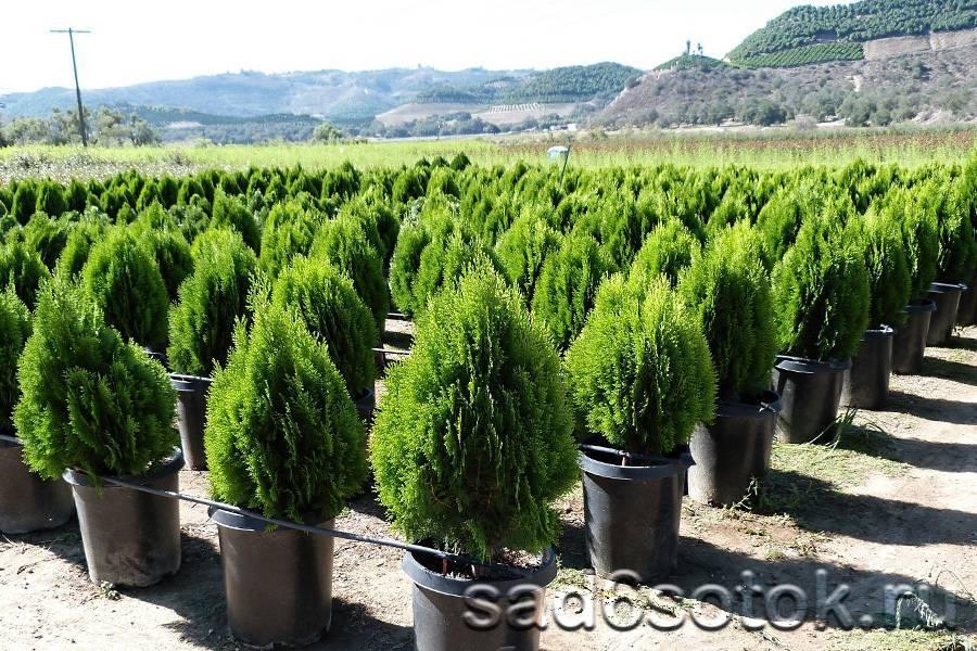Как посадить тую в открытый грунт весной: правила высадки и технология выращивания