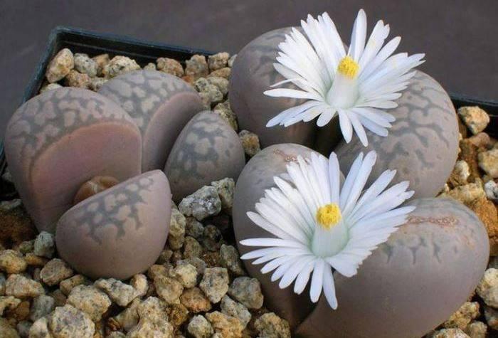 Суккуленты литопсы. посадка, содержание и уход в домашних условиях за живыми камнями