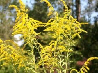10 необычных растений для красивой живой изгороди