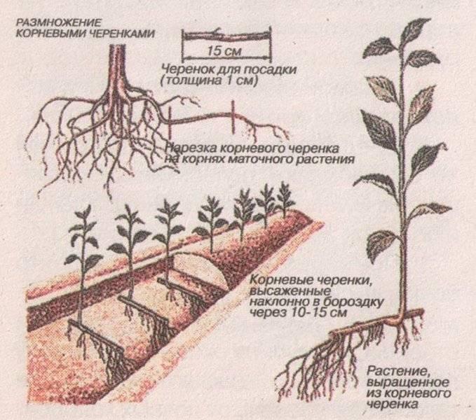 Как вырастить унаби: особенности ухода в открытом грунте и в домашних условиях